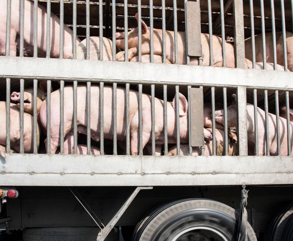 AMR e trasporto di animali: che rischio c'è?